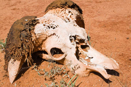 Skull of a buffalo inTsavo Nationalpark photo