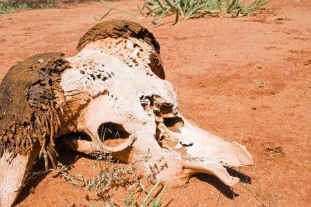 tsavo: Skull of a buffalo in Tsavo National Park