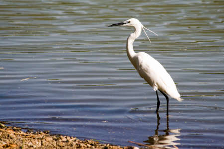 Great Egret standing in the lake photo