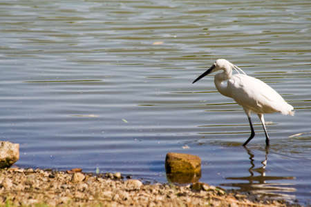 Great White Egret walking in the lake photo
