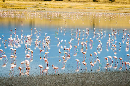 Lesser Flamingos  Phoeniconaias minor  at Lake Magadi in the Kenyan Rift Valley