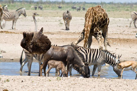 Blue Wildebeest with calf, Ostrich, Zebras, Giraffe and Springbok at the waterhole in Etosha National Park, Namibia.