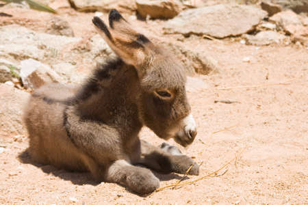 Donkey foal at the campsite. Stock Photo