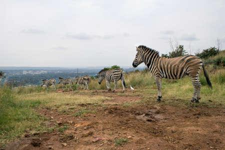 zebra: Montaña cebras Equus zebra en el área rural en Pretoria, Sudáfrica. Foto de archivo