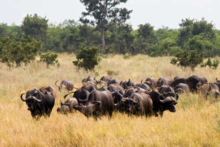Buffalos in Kruger National Park, South Africa. Stock Photo - 47374379