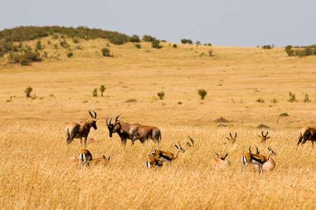 herbivore natural: Red Hartebeest in the Masai Mara National Park, Kenya.