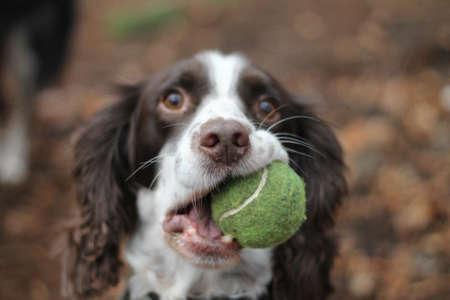 springer: Springer Spaniel dog with Tennis Ball Stock Photo