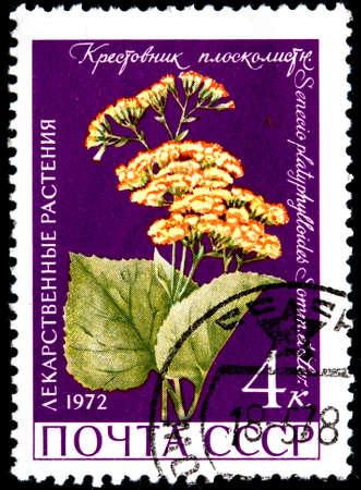 senecio: USSR - CIRCA 1972: A Postage Stamp Shows Senecio Platyphylloides, circa 1972