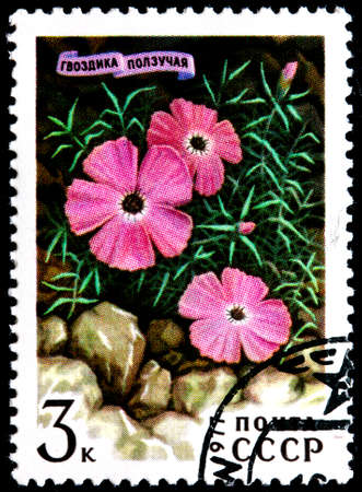 USSR - CIRCA 1977: A Postage Stamp Shows Dianthus Repens, circa 1977