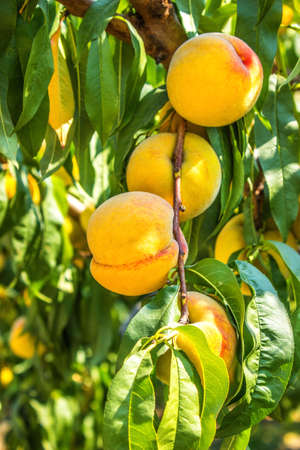tree fruit: Sweet peach fruit growing on a peach tree branch. Ripe peach ready for harvest. Soft glow from sunlight. Stock Photo