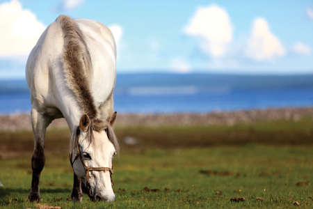 The Mongol horse is the native horse breed of Mongolia. The breed is purported to be largely unchanged since the time of Genghis Khan