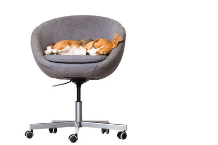 Dog sleeping in chair isolated on white background. Free space for text. Beagle dog in comfortable office chair.
