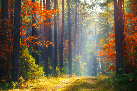 Picturesque autumn forest. Fall forest. Autumn landscape with vivid colors. Autumn trees with red orange leaves. Magic sunlight in forest.