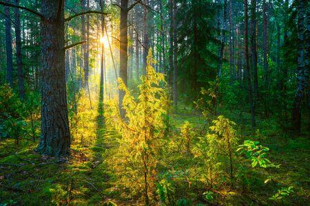 Summer forest. Green forest landscape. Bright sunbeams illuminates green trees through mist. Sun in wood.