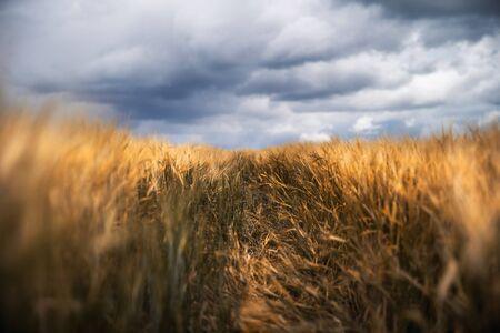 Agriculture background. Barley field. Golden ripe barley. Harvesting. Selective focus.