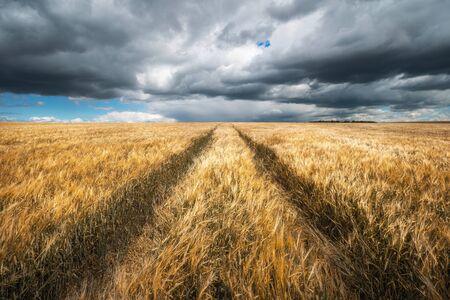 Autumn landscape. Agriculture background. Barley field under dramatic cloudy sky. Standard-Bild