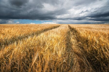 Fall. Wheat field. Autumn agricultural landscape. Harvesting theme.