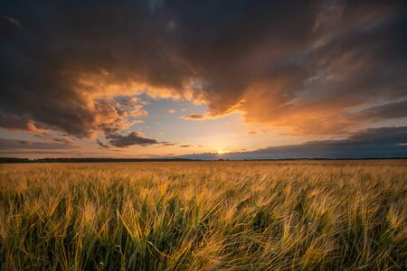 Sunset. Wheat field. Harvesting theme. Autumn landscape. Fall nature. Warm evening in ripe wheat field.