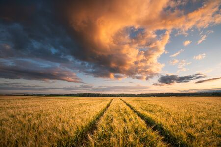 Fall. Autumn landscape with wheat field. Beautiful evening sky with clouds illuminated with red and yellow sunlight. Wheat field. Agriculture.