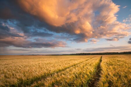 Autumn background. Barley field. Harvesting crops. Sunny evening landscape with amazing colorful sky. Agriculture background.