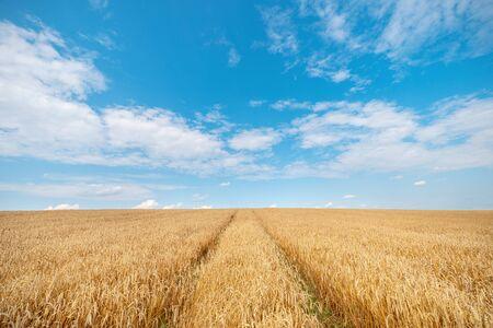 Wheat field under blue sky. Harvesting time. Rural landscape.