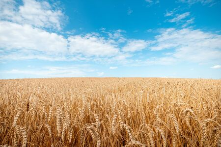 Ripe wheat on a sunny day. Harvesting theme. Agricultural landscape.