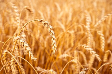 Wheat field. Ears of golden wheat close up. Rural scenery with sunlight. Background of wheat field. Rich harvest concept.