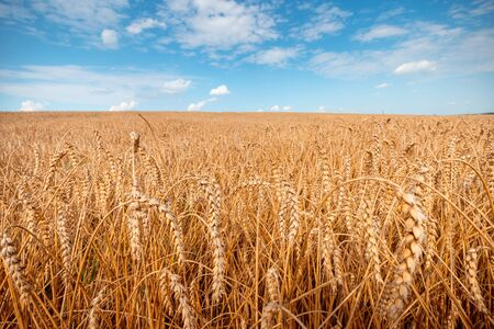 Harvesting. Golden wheat field. Rural scenery with clear blue sky and agricultural field. Rich cereal harvest background.