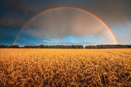 Barley harvest. Ripe golden barley field under rainbow. Rural scenery. Rich cereal harvest concept. Standard-Bild