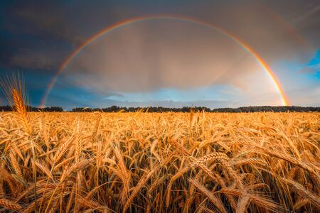 Barley golden stems. Agricultural field ready to harvesting. Sky with rainbow over barley field. Farm landscape.
