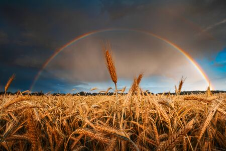 Harvesting. Agricultural background. Autumn agricultural field of ripe wheat. Rural landscape with rainbow. Standard-Bild