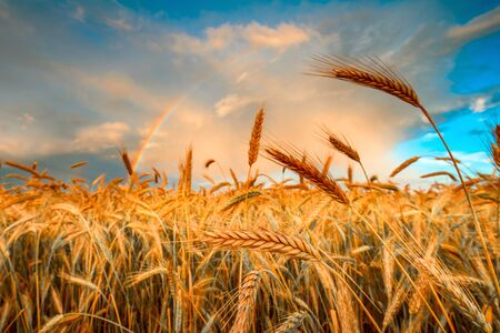 Harvesting. Ripe barley. Field of golden growth barley in the evening time. Rural agricultural background. Standard-Bild