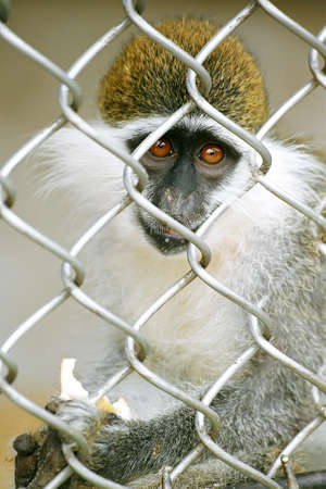 cage gorilla: Monkey in a cage Stock Photo
