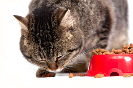 The cat eats a forage. It is isolated on a white background photo