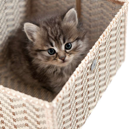 Kitten in a gift box. It is isolated on a white background  photo
