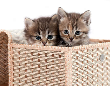 Kittens in a gift box. It is isolated on a white background  photo
