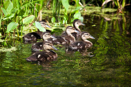 A flock of wild ducks swimming in a pond  photo