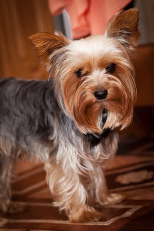 silky terrier: Decorative dog. Yorkshire terrier