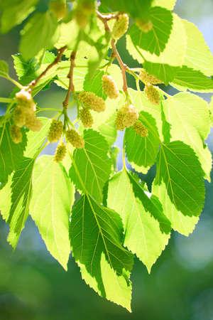 morera: Mora madura en las ramas