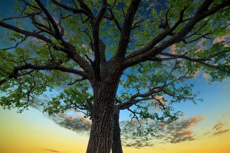 ek: Gammal ek i bakgrunden på solnedgång himlen