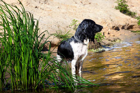 Training a hunting dog on the water. Russian Spaniel  photo