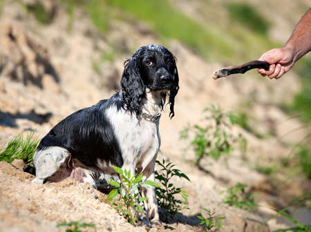 Training a hunting dog on the water  Russian Spaniel  Stock Photo