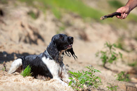 Training a hunting dog on the water  Russian Spaniel  photo