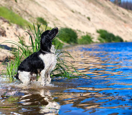 dog collar: Training a hunting dog on the water  Russian Spaniel  Stock Photo