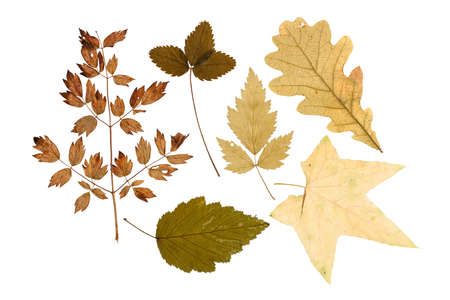 Set of dry leaves of plants and bushes isolated on a white background photo