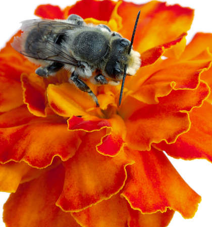 Bee on a flower. It is isolated on a white background Stock Photo - 20734333