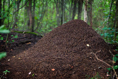 anthill: Big anthill in the woods   Stock Photo