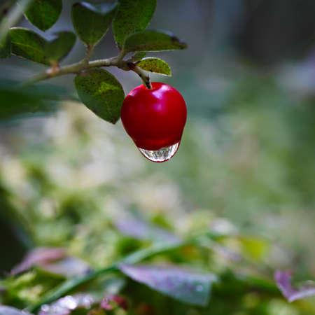 Ripe red bilberry bush branches Stock Photo