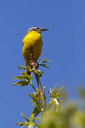 motacilla: Aves silvestres sentado en una rama. Motacilla flava