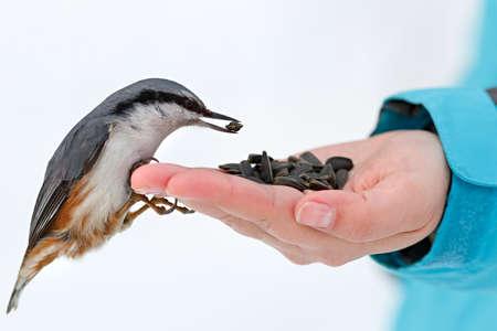 冬に空腹の鳥餌をやります。ゴジュウカラは、手からひまわりの種を取ります。ゴジュウカラ 写真素材